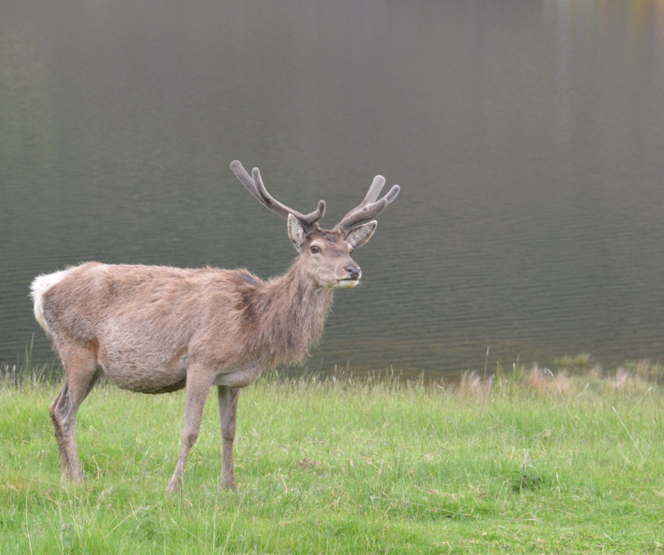 Red Deer in Strathconon Scotland near Home Farm Bed and Breakfast Highlands of Scotland